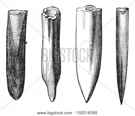 Belemnite Fossils, vintage engraving. Illustration of Belemnite Fossils showing various shapes of the guard part of the organism: (left to right) moderately acute, mucronate, acute, very acute. poster