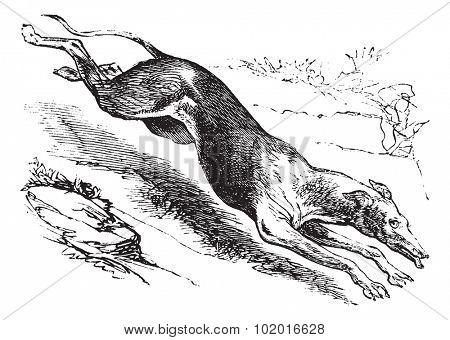 English Greyhound or Canis lupus familiaris, vintage engraving. Old engraved illustration of an English Greyhound. Trousset encyclopedia.