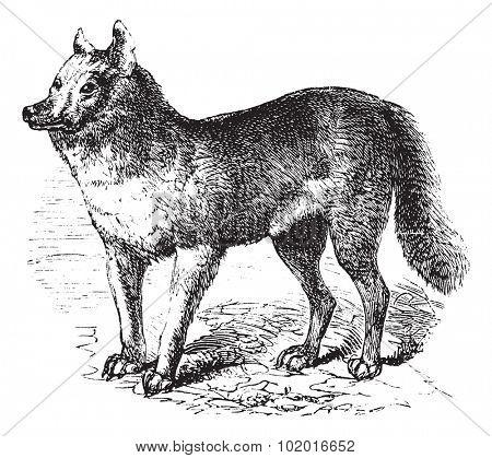 Dingo or Australian Dingo or Canis lupus dingo, vintage engraving. Old engraved illustration of a Dingo. Trousset encyclopedia.