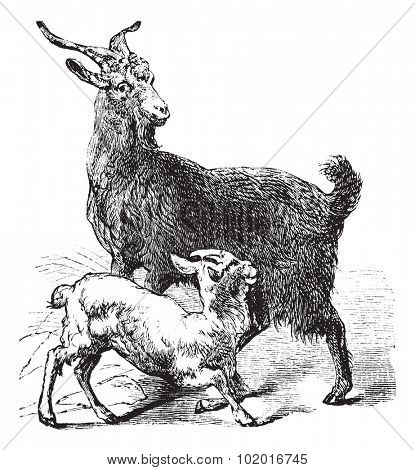 Domestic Goat or Capra aegagrus hircus, vintage engraving. Old engraved illustration of Domestic Goat showing the adult female goat or doe (top) and young goat or kid (bottom). Trousset encyclopedia.