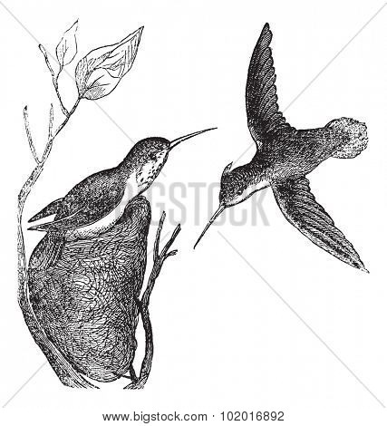 Rufous Hummingbird or Selasphorus rufus, vintage engraving. Old engraved illustration of the Rufous Hummingbird showing male bird (right) and female bird (left). Trousset Encyclopedia