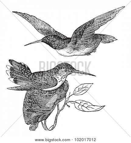 Anna's Hummingbird or Calypte anna, vintage engraving. Old engraved illustration of Anna's Hummingbird showing male bird (top) and female bird (bottom).