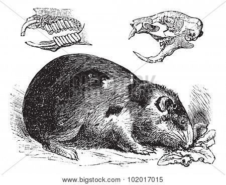 Guinea pig or Cavy or Cavia porcellus, vintage engraving. Old engraved illustration of a Guinea pig showing jaw bones and teeth (upper left) and skull bone (upper right). Trousset Encyclopedia