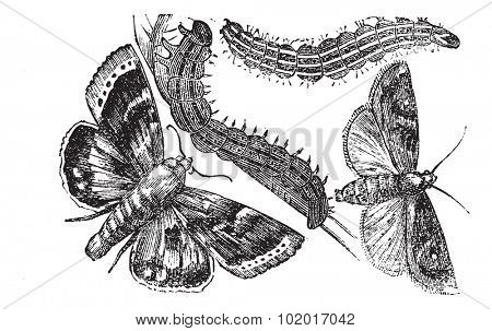 Owlet moth or Noctuidae, vintage engraving. Old engraved illustration of an Owlet moth. Trousset Encyclopedia.