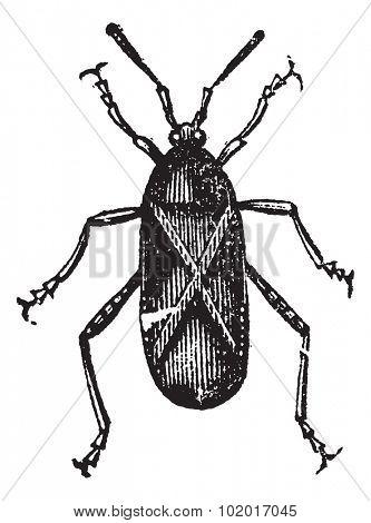 Orange-tipped Leaf-footed Squash Bug or Anasa tristis, vintage engraving. Old engraved illustration of an Orange-tipped Leaf-footed Bug. Trousset Encyclopedia.