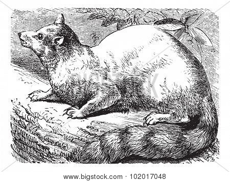 Ringtail or Ring-tailed Cat or Bassariscus astutus, vintage engraving. Old engraved illustration of a Ringtail. Trousset Encyclopedia.