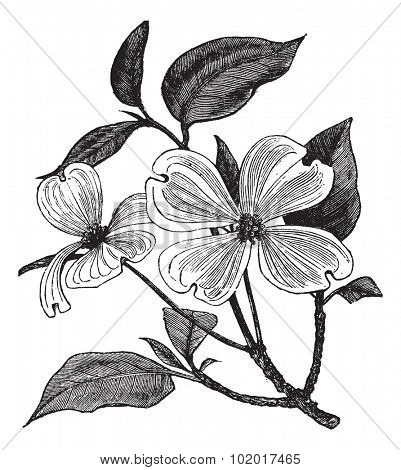 Flowering Dogwood or Cornus florida, vintage engraving. Old engraved illustration of a Flowering Dogwood. Trousset Encyclopedia