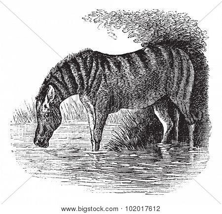 Donkey or Equus asinus, vintage engraving. Old engraved illustration of a Donkey. Trousset Encyclopedia