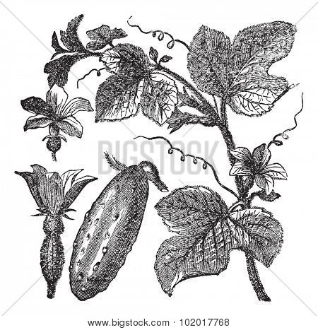 Cucumber or Cucumis sativus, vintage engraving. Old engraved illustration of a Cucumber showing flowers, leaves and vegetable fruit. Trousset Encyclopedia