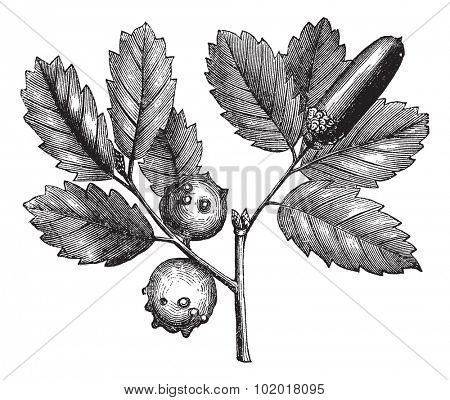 Quercus lusitanica or Gall Oak or Lusitanian Oak or Dyer's Oak or Quercus infectoria Olivier, vintage engraving. Old engraved illustration of Gall Oak, plant and galls isolated on a white background.