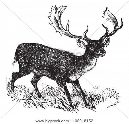 Fallow Deer or Dama dama, vintage engraving. Old engraved illustration of a Fallow Deer. Trousset Encyclopedia