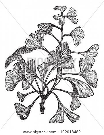 Ginkgo biloba or Salisburia adiantifolia or Pterophyllus salisburiensis or Ginkgo or Maidenhair Tree, vintage engraving. Old engraved illustration of Ginkgo, isolated on a white background. Trousset