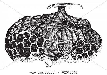 Paper wasp (Vespa nidulans) or umbrella wasp vintage engraving. Old engraved illustration of paper wasp on nest. Trousset Encyclopedia.