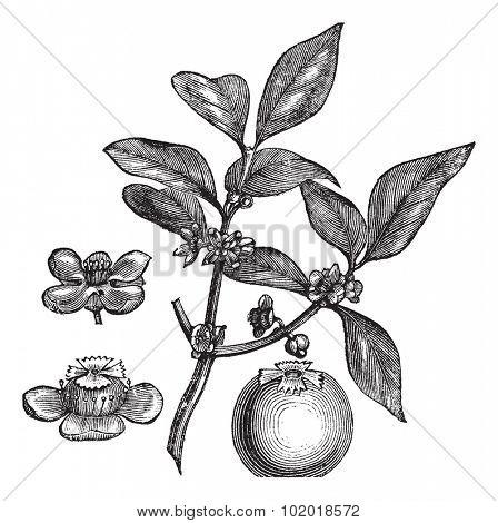 Gamboge or Garcina gummi-gutta or Hebradendron cambogioides or Garcinia hanburyi or Gambojia or Hanbury's Garcinia or Brindleberry or Gambooge, vintage engraving. Isolated on a white background.