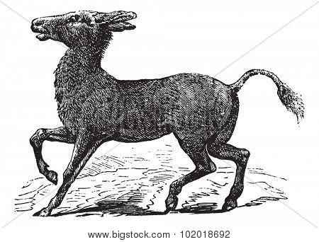 Mongolian Wild Ass or Khulan or Equus hemionus, vintage engraving. Old engraved illustration of a Mongolian Wild Ass. Trousset Encyclopedia
