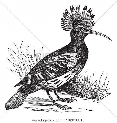 Hoopoe or Upupa epops, vintage engraving. Old engraved illustration of Hoopoe in the meadow. Trousset Encyclopedia
