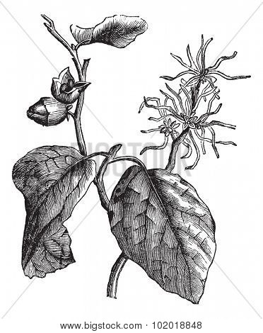 Witch hazel (Hamamelis virginiana) or winterbloom vintage engraving. Old engraved illustration of witch hazel leaves and flowers. Trousset Encyclopedia