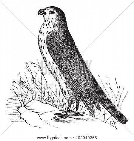 Merlin or Pigeon Hawk or Falco columbarius, vintage engraving. Old engraved illustration of Merlin or Pigeon Hawk. Trousset Encyclopedia