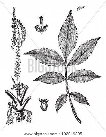 Leaf, base, stem and flower of hickory vintage engraving. Old engraved illustration of leaf base stem and flower of hickory tree. Trousset Encyclopedia