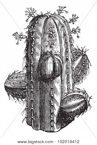 Euphorbia officinarum, vintage engraving. Old engraved illustration of a Euphorbia officinarum.  Trousset encyclopedia (1886 - 1891)