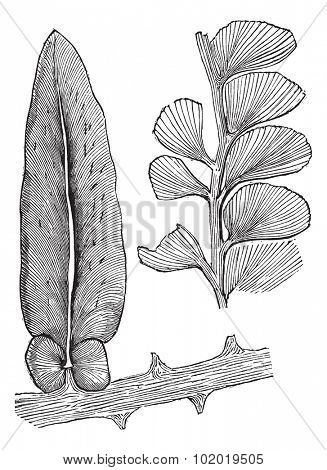 Neuropteris and Adiantites, vintage engraving. Old engraved illustration of Neuropteris and Adiantites, both extinct seed ferns.  Trousset encyclopedia (1886 - 1891)