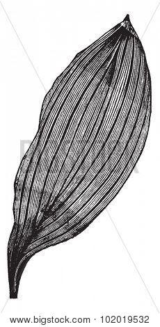 Parallel-veined Leaf, vintage engraving. Old engraved illustration of a Parallel-veined Leaf.  Trousset encyclopedia (1886 - 1891) poster