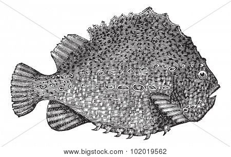 Lumpsucker or Cyclopterus lumpus or lumpfish, vintage engraving. Old engraved illustration of Lumpsucker isolated on a white background. Trousset encyclopedia (1886 - 1891)