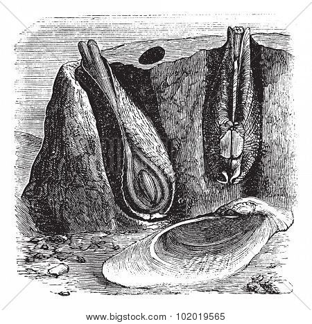 Common Piddock or Pholas dactylus or Stone Borer, vintage engraving. Old engraved illustration of Common Piddock in the Gneiss. Trousset encyclopedia (1886 - 1891)