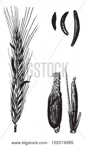 Rye or Secale cereale, vintage engraved illustration. Trousset encyclopedia (1886 - 1891).