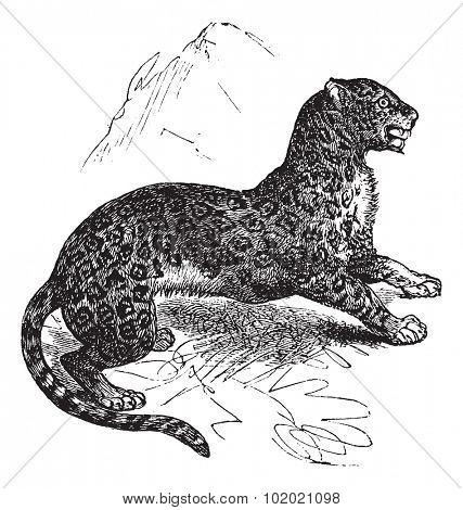 Jaguar or Panthera onca, vintage engraving. Old engraved illustration of Jaguar, watchful in the meadow.  Trousset encyclopedia (1886 - 1891).