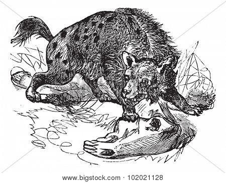 Spotted Hyena or Crocuta crocuta or laughing Hyena, vintage engraving. Old engraved illustration of Spotted Hyena, hunting in the meadow.  Trousset encyclopedia (1886 - 1891). poster