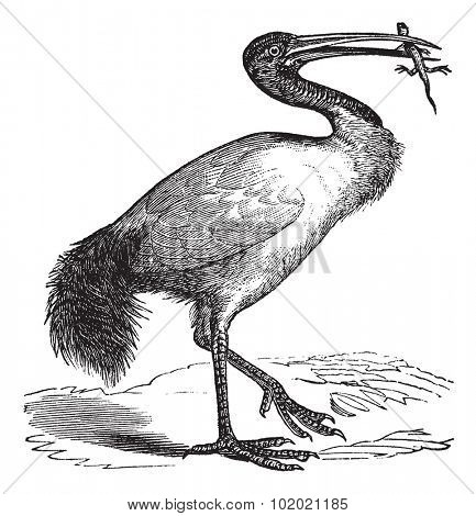 African Sacred Ibis or Threskiornis aethiopicus or Sacred Ibis, vintage engraving. Old engraved illustration of African Sacred Ibis, eating an animal.  Trousset encyclopedia (1886 - 1891).