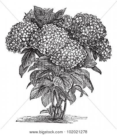 Bigleaf Hydrangea or Hydrangea macrophylla or French Hydrangea or Lacecap Hydrangea or Mophead Hydrangea or Penny Mac or Hortensia, vintage engraving.Trousset encyclopedia (1886 - 1891).