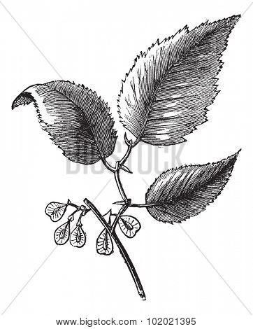 Slippery elm or Ulmus fulva, isolated on white, vintage engraved illustration. Trousset encyclopedia (1886 - 1891).