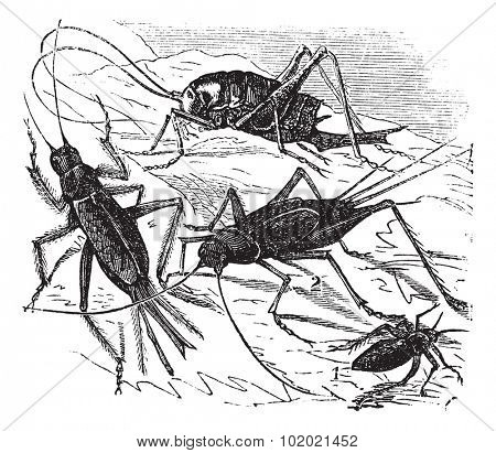 1.Wood cricket (Acheta vittata) 2.Field cricket (Acheta campestris) 3.Domestic cricket (Acheta domestica) 4.Bought maculata vintage engraving. Trousset encyclopedia (1886 - 1891).