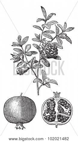 Pomegranate double flowers and fruit vintage engraving. Old engraved illustration of Pomegranate double flowers and fruit of the pomegranate with single flower. Trousset encyclopedia (1886 - 1891).