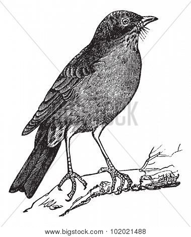 American Robin (Turdus migratorius) vintage engraving. Old engraved illustration of American robin perched on tree branch. Trousset encyclopedia (1886 - 1891).