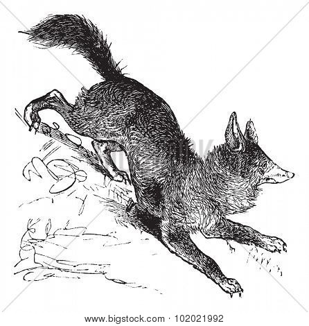 Red Fox or Vulpes vulpes or Vulpes fulva or Vulpes fulvus, vintage engraving. Old engraved illustration of Red Fox. Trousset encyclopedia (1886 - 1891).