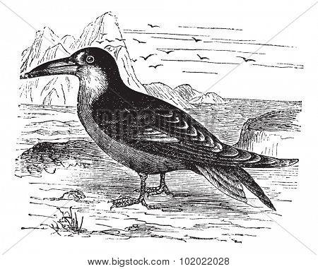 Black Skimmer or Rynchops niger, vintage engraving. Old engraved illustration of Black Skimmer in the meadow. Trousset encyclopedia (1886 - 1891).