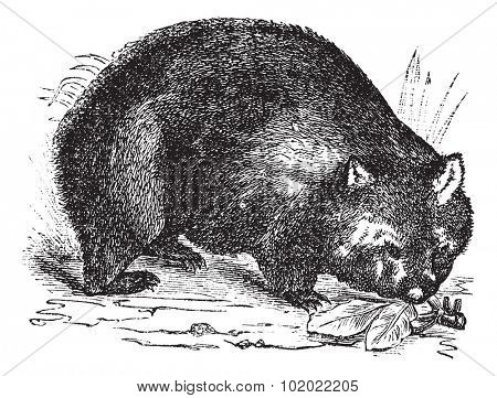 Common wombat or Vombatus ursinus or Coarse-haired wombat or Bare-nosed wombat, vintage engraving. Old engraved illustration of Common wombat in the meadow. Trousset encyclopedia (1886 - 1891).