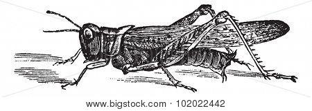 Rocky Mountain Locust or Melanoplus spretus, vintage engraving. Old engraved illustration of Rocky Mountain Locust. Trousset encyclopedia (1886 - 1891).