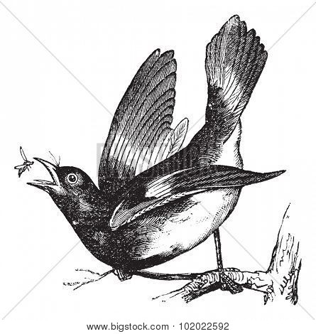 American Redstart or Setophaga ruticilla, vintage engraving.  Old engraved illustration of American Redstart catching an insect from the branch. Trousset encyclopedia (1886 - 1891).