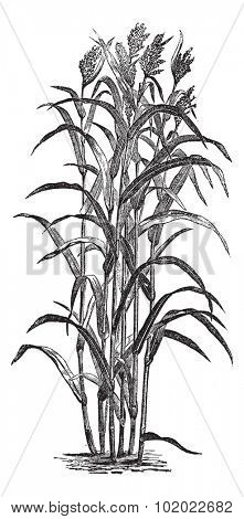 Sorghum bicolour or Sorghum vulgare or sorghum or Durra or Jowari or Sorghum japonicum, vintage engraving. Old engraved illustration of Sorghum bicolour. Trousset encyclopedia (1886 - 1891).