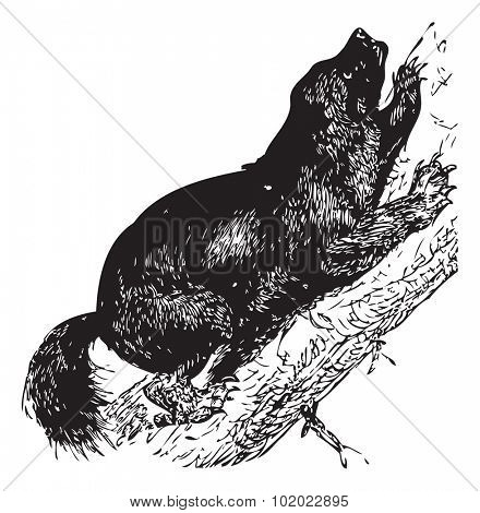 Wolverine or Gulo luscus or Gulo gulo or Carcajou or Glutton or Skunk bear or Quickhatch or Gulon, vintage engraving. Trousset encyclopedia (1886 - 1891).