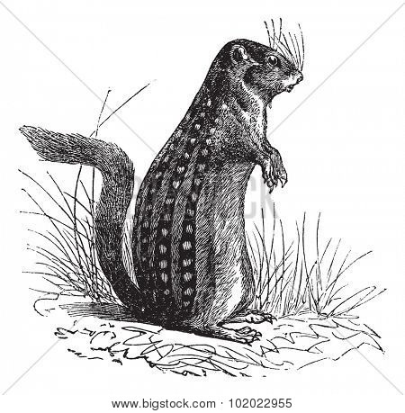Thirteen-lined ground squirrel, Ictidomys tridecemlineatus, Spermophilus tridecemlineatus, Striped gopher, Leopard ground squirrel, Squinney, vintage engraving. Trousset encyclopedia (1886 - 1891).