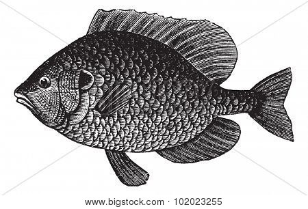 Pumpkinseed Sunfish or Lepomis gibbosus, vintage engraved illustration. Trousset encyclopedia (1886 - 1891).