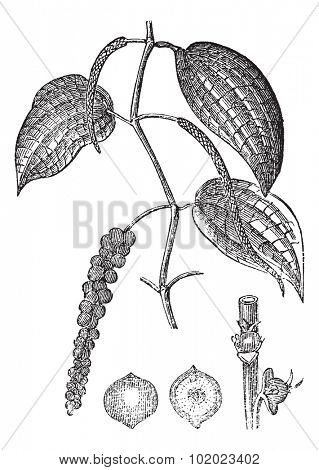 Black pepper or Piper nigrum, vintage engraved illustration. Trousset encyclopedia (1886 - 1891).