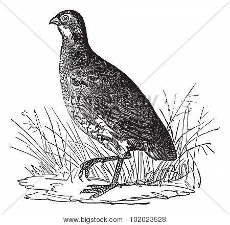 Bobwhite Quail or Northern Bobwhite or Virginia Quail or Colinus virginianus, vintage engraved illustration. Trousset encyclopedia (1886 - 1891).