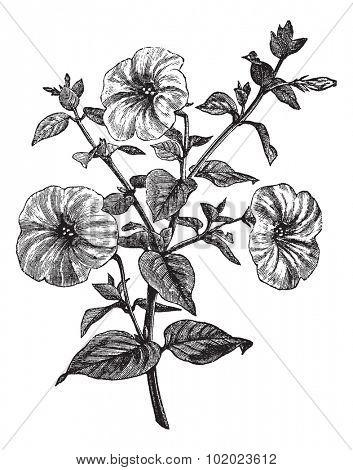 Petunia or Petunia sp., vintage engraved illustration. Trousset encyclopedia (1886 - 1891).