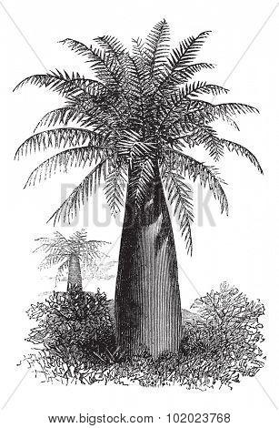 Chilean Wine Palm or Jubaea chilensis, vintage engraved illustration. Trousset encyclopedia (1886 - 1891).
